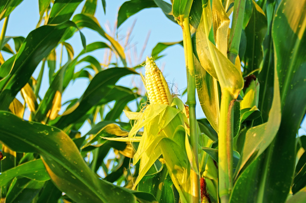CropRadar measured: Maize area increased by almost 3 %